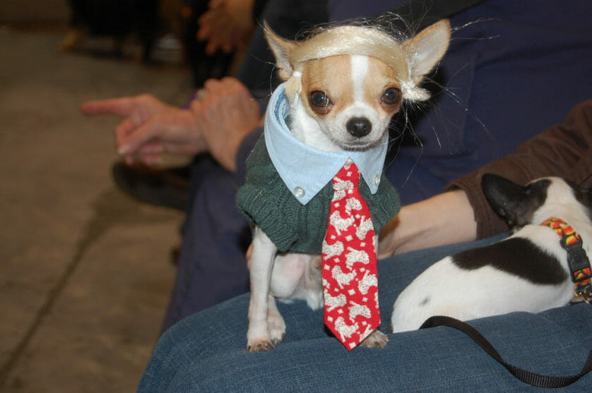 chihuahua dressed as Donald Trump